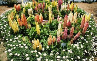 Какие многолетние цветы можно выращивать семенами