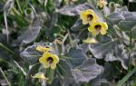 Белена — смертельно опасное растение?