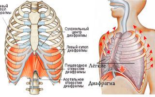 Что такое диафрагма человека и где она находится