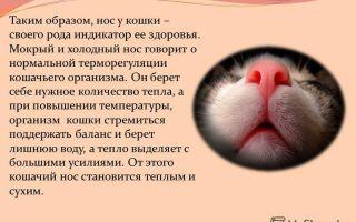 Почему у котов мокрый нос