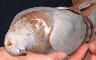Как лечить вертячку у голубей