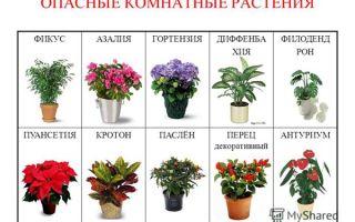 Какие комнатные цветы вызывают аллергию