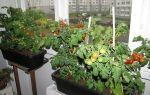 Как выращивать на подоконнике огурцы и помидоры