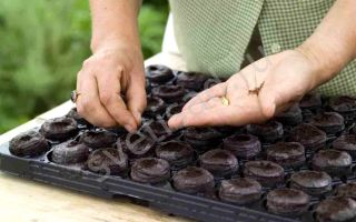 Как сажать семена в торфяные таблетки