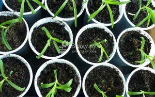 Как вырастить гвоздику из семян